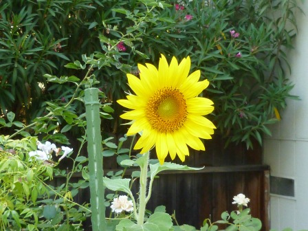 The Volunteer Sunflower